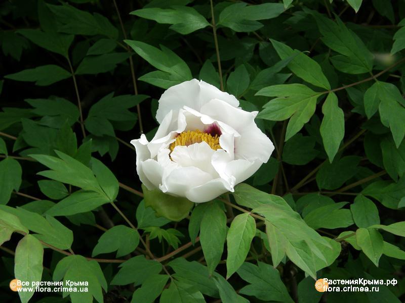Тагетес бархатцы  выращивание фото цветов сорта и виды